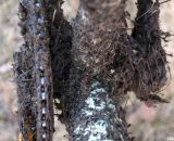 It was a clumpy affair at 2012 Nationals © Cyclocross Magazine