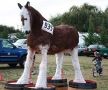 Clydesdales get some respect in Oregon. © Dave Aldersabaes, Ironclad Cycling