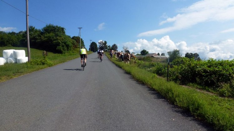 We go up, the cows walk down. D2R2 2012 © Cyclocross Magazine