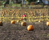 Pumpkins, lots of pumpkins © Kenton Berg