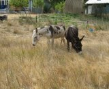 The donkeys that will be keeping Adam company for the next 30 or so years. Adam McGrath