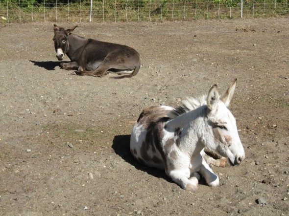 The experimental donkeys, taking a break.